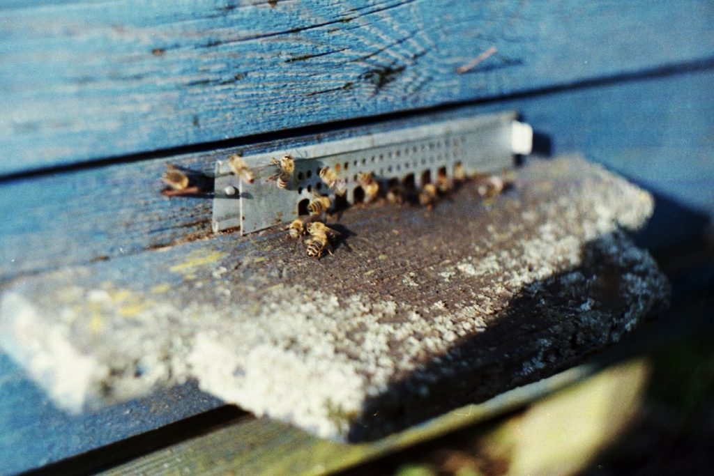 Pszczoły Pszczoła Pasieka Micuda (11)