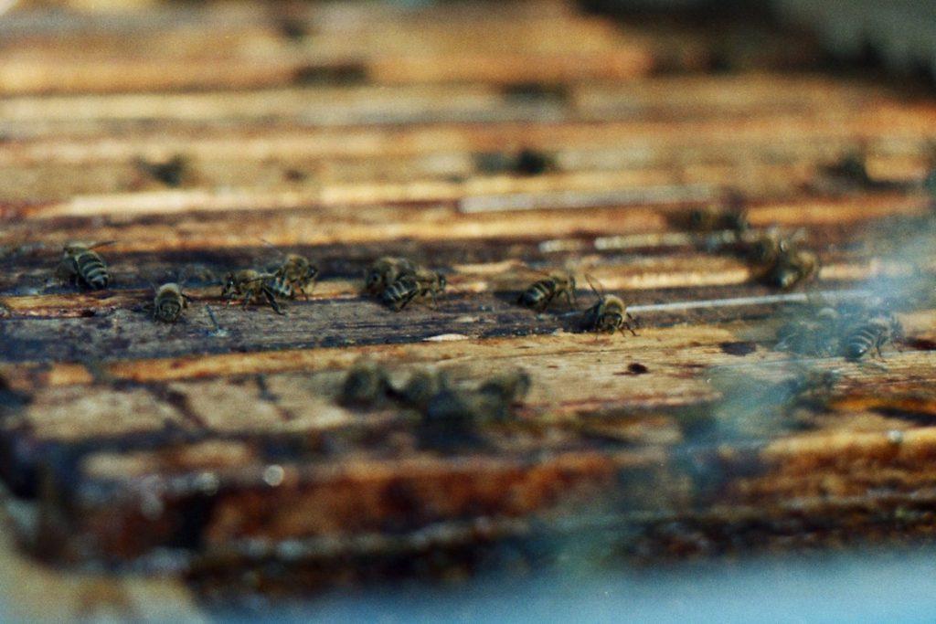 Pszczoły Pszczoła Pasieka Micuda (18)